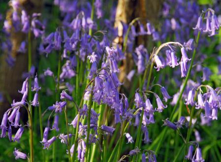 hyacinthoides-non-scripta.jpg