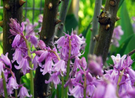 hyacinthoides.jpg