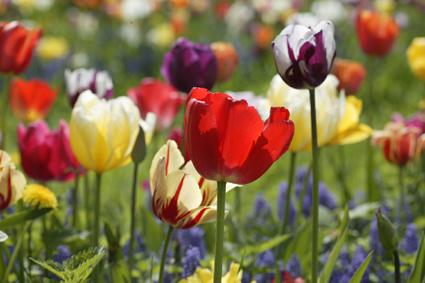 tulips-spring-blooming.jpg