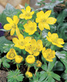 Eranthis Hyemalis butter yellow 10_bulbs