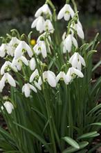 Galanthus Nivalis white 10_bulbs
