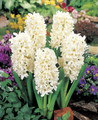 Hyacinth Topwhite