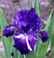 Iris Out of Control white on dark giant bearded 15_perennials
