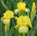 Iris Sunshine and Snow yellow white giant bearded