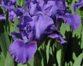 Iris Banburry Ruffles purple giant bearded 15_perennials
