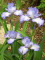 Iris Cloud Ballet light blue giant bearded 15_perennials