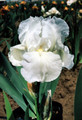 Iris Immortality white giant bearded 15_perennials