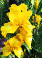 Iris Summer Olympics yellow white giant bearded 15_perennials