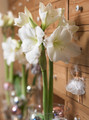 Amaryllis white Christmas supersize