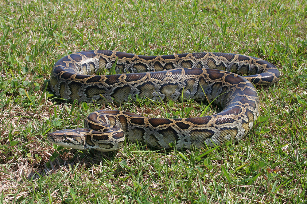 the pythons in everglades and the The invasive reptiles, imported from southeast asia as pets, are thriving in the national park and eating up all the bunnies.