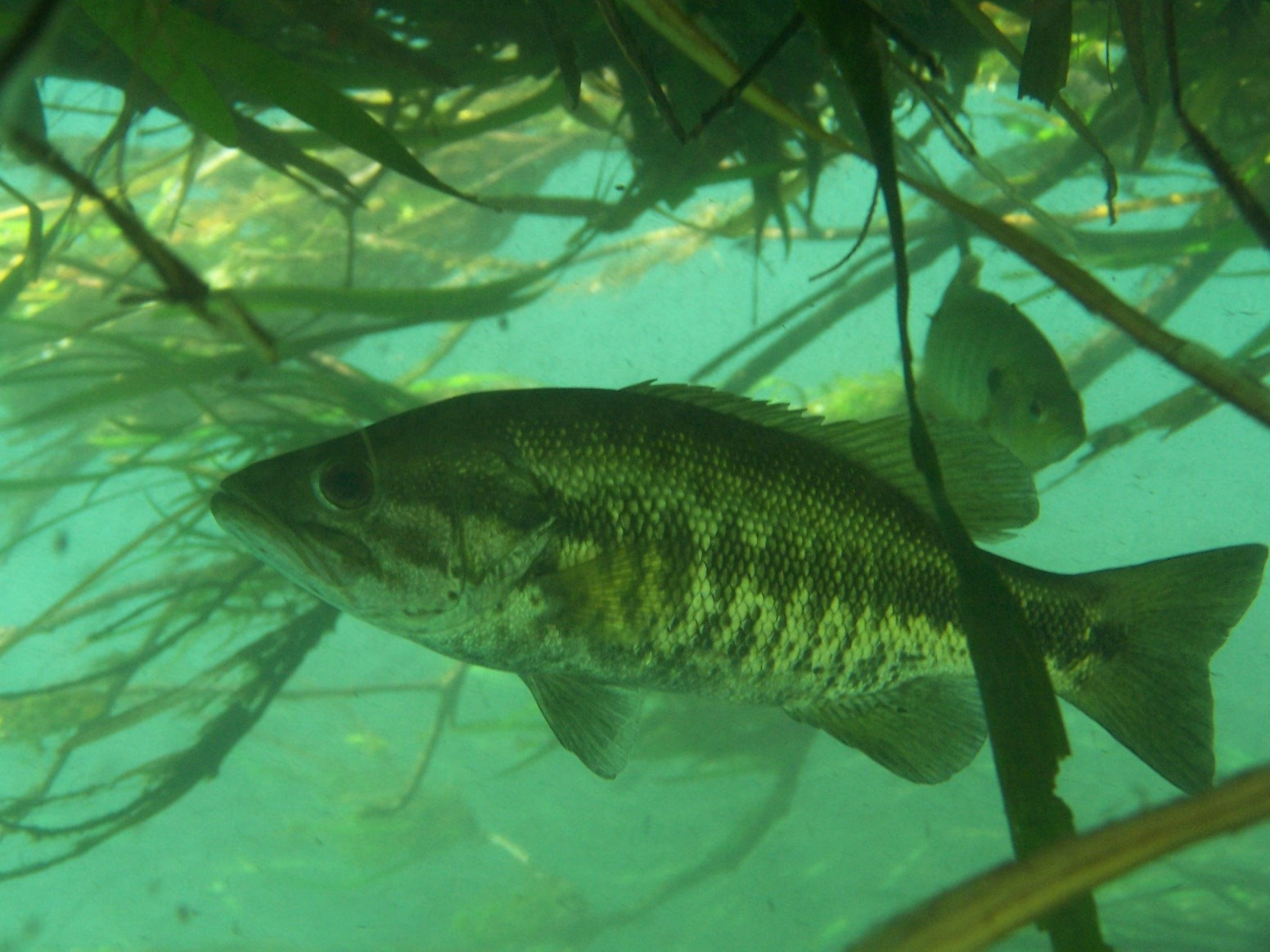 Suwannee bass | Everglades Tours