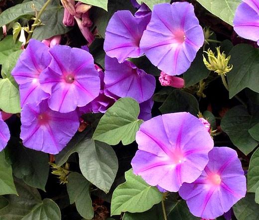 Morning glory mixed ipomoea purpurea seeds for Ipomea purpurea