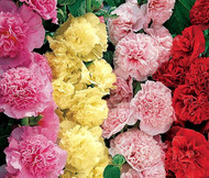 Hollyhock Chater's Double Mix Alcea Rosea Seeds