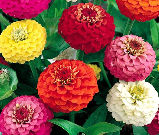 Zinnia Liliput Mix Zinnia Elegans Seeds