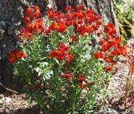 Wallflower English Cheiranthus Cheiri Seeds