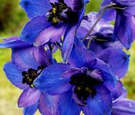 Delphinium Black Knight Delphinium Cultorum Seeds