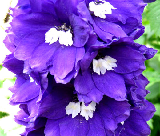 Image result for The Distinguished Delphinium