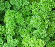 Parsley Moss Curled Petroselinum Crispum Seeds