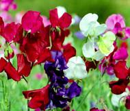 Sweet Pea Bijou Mix Dwarf Lathyrus Odoratus