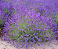 English Lavender Lavandula Angustifolia Seeds