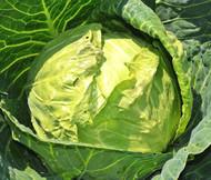 Cabbage Danish Ballhead Brassica Oleracea Seeds