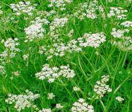 Caraway Carum Carvi Seeds