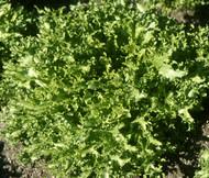 Endive Salad King Cichorium Endivia Seeds