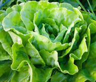 Lettuce Butterhead Organic Buttercrunch Lactuca Sativa Seeds
