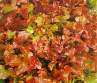 Lettuce Looseleaf Red Sails Lactuca Sativa Seeds