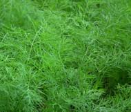 Dill Bouquet Organic Anethum Graveolens Seeds
