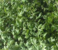 Cress Curled Peppergrass Lepidium Sativum Seeds