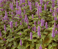 Lavender Hyssop Agastache Foeniculum Bulk Seeds