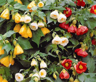 Abutilon Bellevue Mix Abutilon Hybridum Seeds