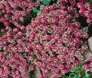 Alyssum Rosie O'Day Lobularia Maritima Seeds