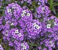 Alyssum Violet Queen Lobularia Maritima Seeds