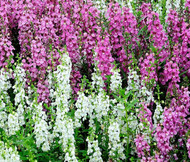 Angelonia Serena Mix Angelonia Angustifolia Seeds