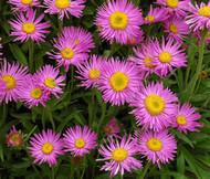 Aster Alpine Pink Aster Alpinus Seeds