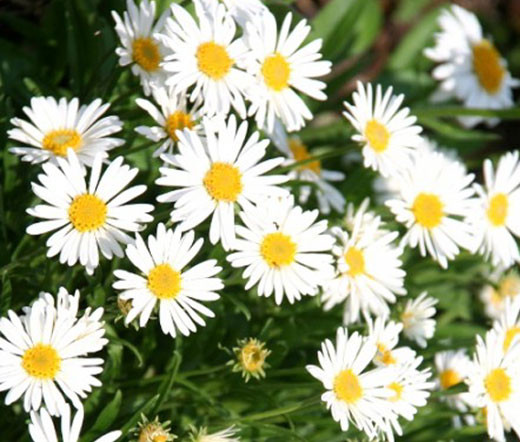 aster alpine white aster alpinus seeds, Beautiful flower