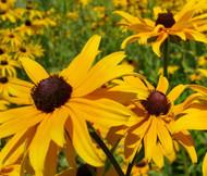 Black Eyed Susan Rudbeckia Hirta Seeds