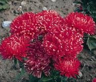 Aster Dwarf Milady Scarlet Callistephus Chinensis Seeds