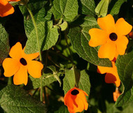 Black Eyed Susan Vine Thunbergia Alata Seeds