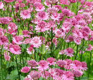Astrantia Masterwort Purple Astrantia Major Seeds