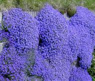 Aubrieta Rock Cress Cascade Blue Aubrieta Hybrida Superbissima Seeds
