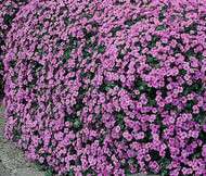 Aubrieta Rock Cress Cascade Purple Aubrieta Hybrida Superbissima Seeds