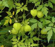 Balloon Vine Cardiospermum Halicacabum Seeds