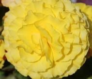 Begonia Tuberous Double Yellow Begonia Tuberosa Seeds