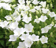 Bellflower Tussock White Campanula Carpatica Seeds