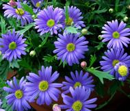 Brachycome Blue Splendor Brachycome Iberidifolia Seeds