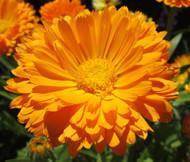 Calendula Pot Marigold Calendula Officinalis Seeds