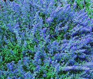 Catmint Blue Nepeta Mussinii Seeds